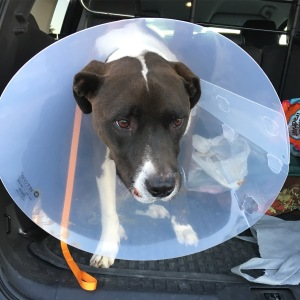 Snoopy and The Cone of Shame